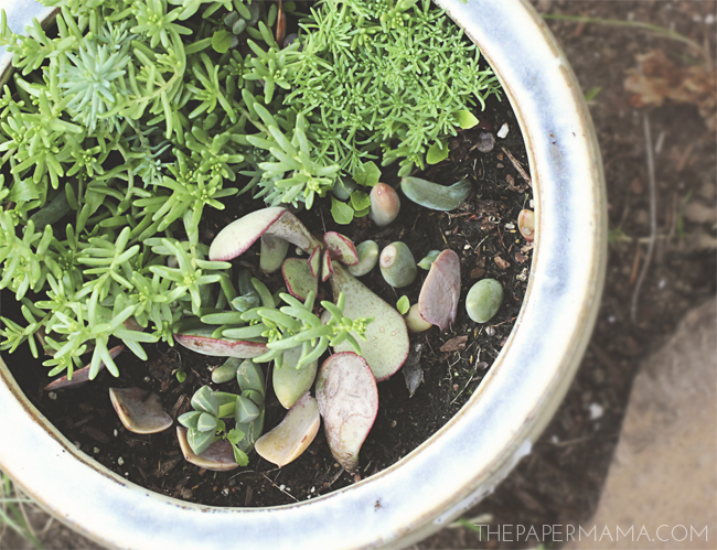 How To Propagate Succulents // thepapermama.com