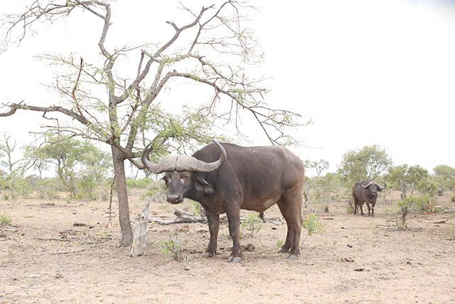 Safari at Kruger Travel Guide - What to Do - Drive Through Kruger National Wildlife Park - Buffalo