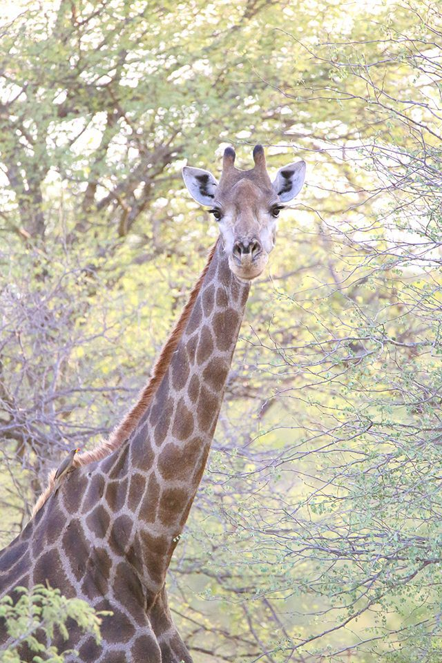 Safari at Kruger Travel Guide - What to Do - Giraffes on Driving Safari at Africa on Foot