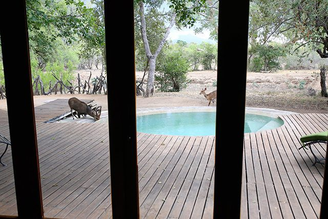Safari at Kruger Travel Guide - Where to Stay - Bushbuck Antelope Drinking for the Pool at Tintswalo Safari Lodge