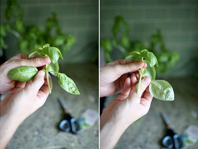 How to Grow Basil From Cuttings - Step 2