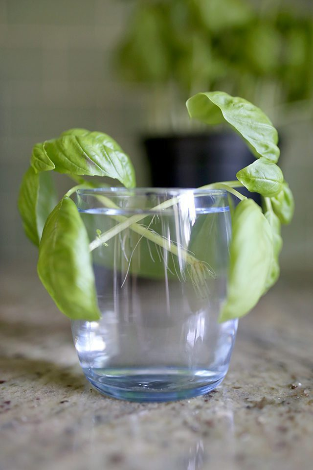 How to Grow Basil From Cuttings - Step 5