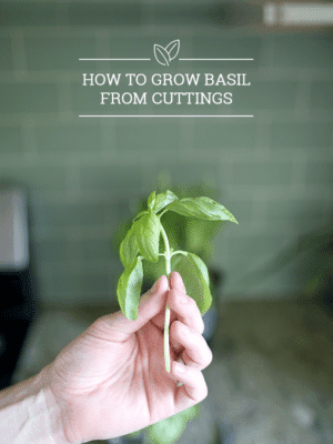 How to Grow Basil from Cuttings – Buy 1 Plant, Grow 10! thumbnail